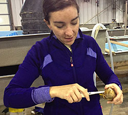 Photo: Shucking a dead clam for sampling.
